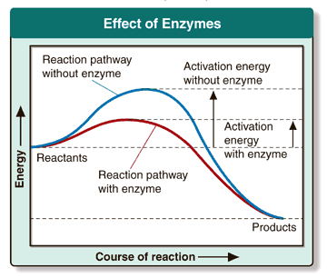 Effect of Enzymes